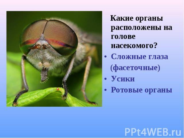 Какие органы расположены на голове насекомого? Какие органы расположены на голове насекомого? Сложные глаза (фасеточные) Усики Ротовые органы