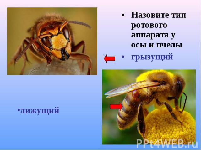 Назовите тип ротового аппарата у осы и пчелы Назовите тип ротового аппарата у осы и пчелы грызущий