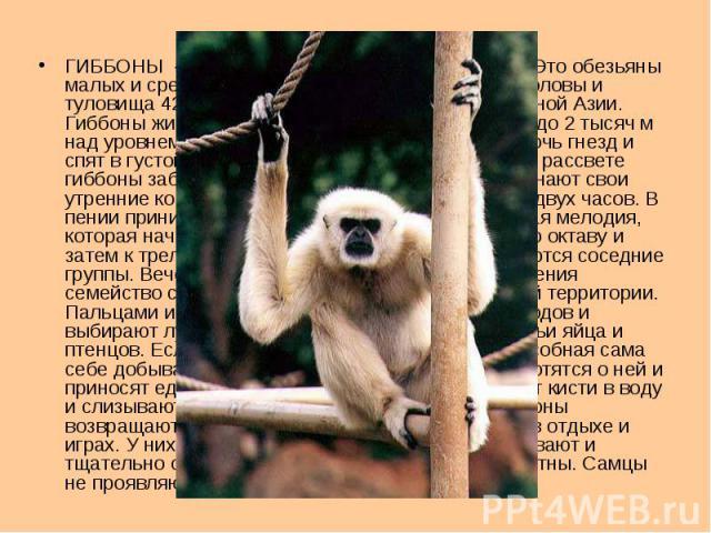 ГИББОНЫ - род обезьян семейства гиббоновых. Это обезьяны малых и средних размеров, массой 4-8 кг; длина головы и туловища 42-64 см; распространены в Юго-Восточной Азии. Гиббоны живут в тропических дождевых и горных (до 2 тысяч м над уровнем моря) ле…