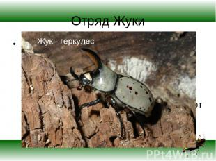 ЖУКИ (жесткокрылые), наиболее многочисленный отряд насекомых, включающий более 1