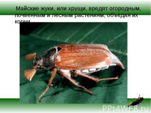 Майские жуки, или хрущи, вредят огородным, почвенным и лесным растениям, объедая