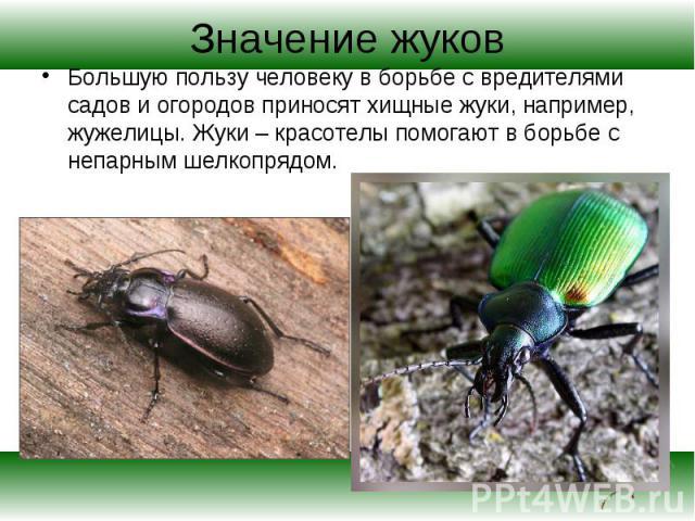 Большую пользу человеку в борьбе с вредителями садов и огородов приносят хищные жуки, например, жужелицы. Жуки – красотелы помогают в борьбе с непарным шелкопрядом. Большую пользу человеку в борьбе с вредителями садов и огородов приносят хищные жуки…