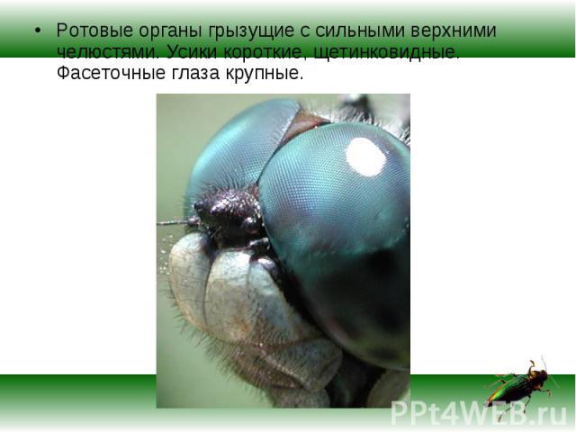 Ротовые органы грызущие с сильными верхними челюстями. Усики короткие, щетинковидные. Фасеточные глаза крупные. Ротовые органы грызущие с сильными верхними челюстями. Усики короткие, щетинковидные. Фасеточные глаза крупные.