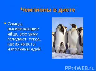 Самцы, высиживающие яйца, всю зиму голодают, тогда, как их животы наполнены едой