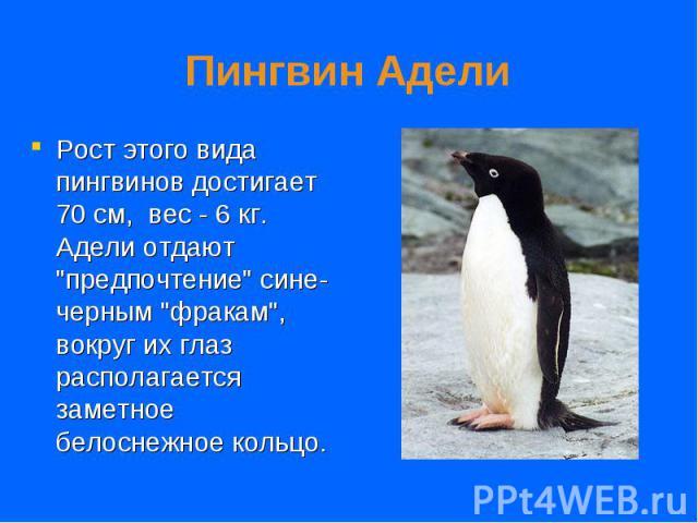 """Рост этого вида пингвинов достигает 70 см, вес - 6 кг. Адели отдают """"предпочтение"""" сине-черным """"фракам"""", вокруг их глаз располагается заметное белоснежное кольцо. Рост этого вида пингвинов достигает 70 см, вес - 6 кг.…"""