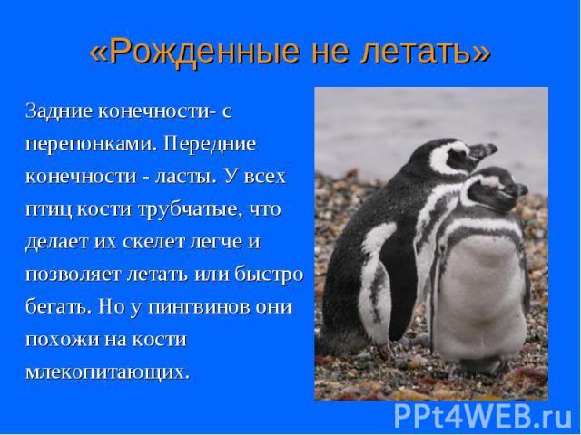 Задние конечности- с Задние конечности- с перепонками. Передние конечности - ласты. У всех птиц кости трубчатые, что делает их скелет легче и позволяет летать или быстро бегать. Но у пингвинов они похожи на кости млекопитающих.