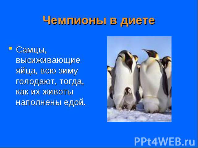 Самцы, высиживающие яйца, всю зиму голодают, тогда, как их животы наполнены едой. Самцы, высиживающие яйца, всю зиму голодают, тогда, как их животы наполнены едой.