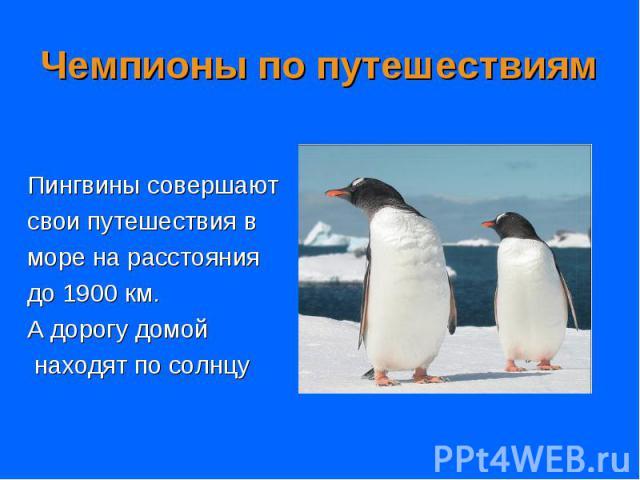 Пингвины совершают Пингвины совершают свои путешествия в море на расстояния до 1900 км. А дорогу домой находят по солнцу