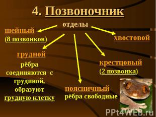 4. Позвоночник