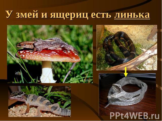 У змей и ящериц есть линька