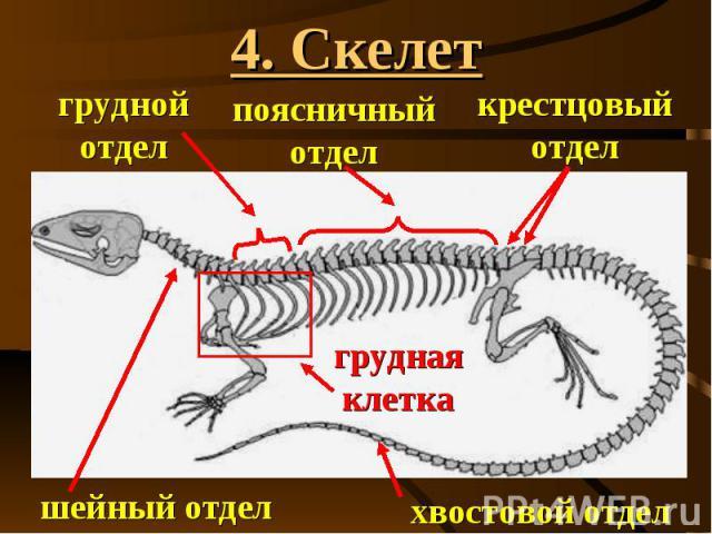 4. Скелет