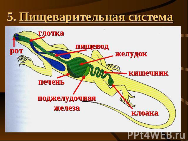 5. Пищеварительная система