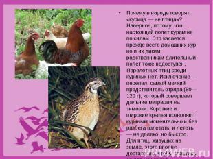 Почему в народе говорят: «курица — не птица»? Наверное, потому, что настоящий по