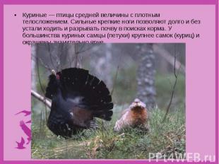 Куриные — птицы средней величины с плотным телосложением. Сильные крепкие ноги п