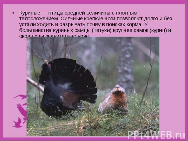Куриные — птицы средней величины с плотным телосложением. Сильные крепкие ноги позволяют долго и без устали ходить и разрывать почву в поисках корма. У большинства куриных самцы (петухи) крупнее самок (куриц) и окрашены значительно ярче. Куриные — п…