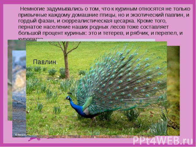 Немногие задумывались о том, что к куриным относятся не только привычные каждому домашние птицы, но и экзотический павлин, и гордый фазан, и сюрреалистическая цесарка. Кроме того, пернатое население наших родных лесов тоже составляет большой процент…
