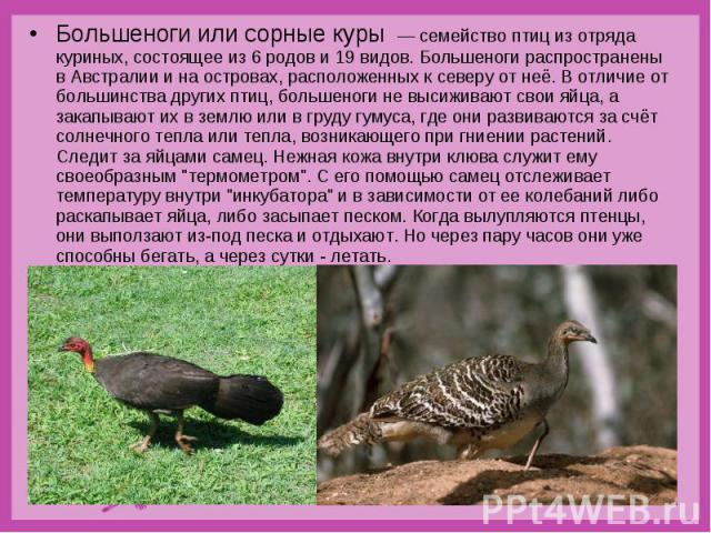 Большеноги или сорные куры — семейство птиц из отряда куриных, состоящее из 6 родов и 19 видов. Большеноги распространены в Австралии и на островах, расположенных к северу от неё. В отличие от большинства других птиц, большеноги не высиживают …