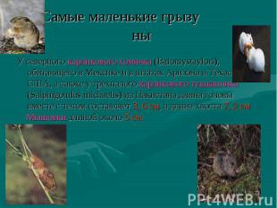 У северного карликового хомячка (Baiomystaylori), обитающего в Мексике и в штата