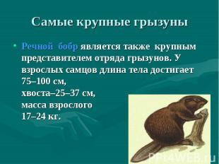 Речнойбобрявляется также крупным представителем отряда грызуно