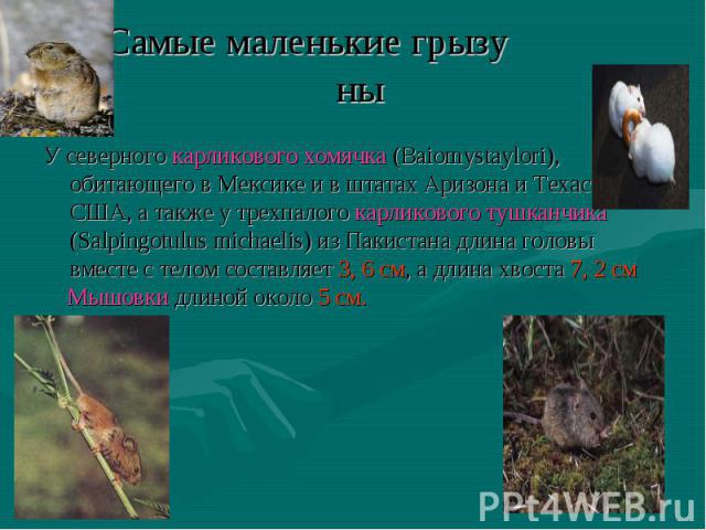 У северного карликового хомячка (Baiomystaylori), обитающего в Мексике и в штатах Аризона и Техас, США, а также у трехпалого карликового тушканчика (Salpingotulus michaelis) из Пакистана длина головы вместе с телом составляет 3, 6 см, а длина хвоста…