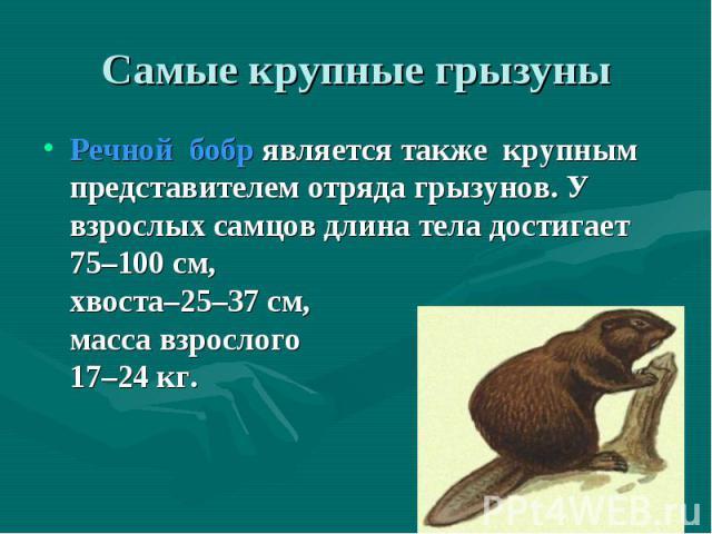 Речнойбобрявляется также крупным представителем отряда грызунов. У взрослыхсамцов длина тела достигает 75–100 см, хвоста–25–37 см, масса взрослого зверя-17–24 кг. Речнойбобрявляется также крупным представите…