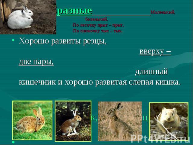 Хорошо развиты резцы, вверху – две пары, длинный кишечник и хорошо развитая слепая кишка. Хорошо развиты резцы, вверху – две пары, длинный кишечник и хорошо развитая слепая кишка. Около 60 видов Кролик, заяц, заяц русак, пищуха