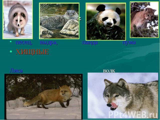 песец, выдра, панда пума ХИЩНЫЕ Лиса волк