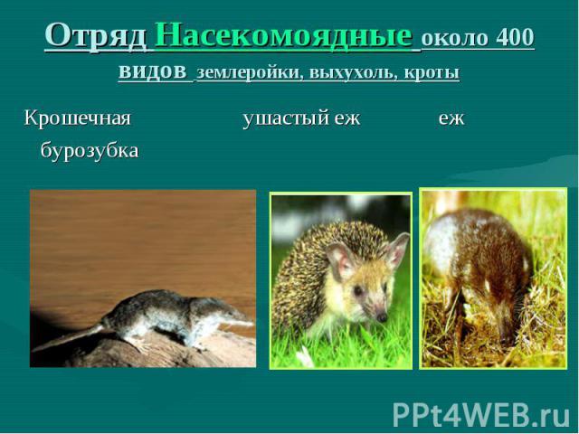 Крошечная ушастый еж еж бурозубка