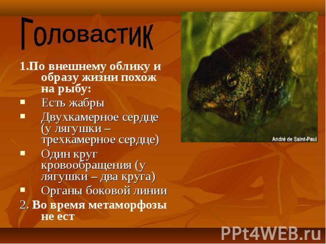 1.По внешнему облику и образу жизни похож на рыбу: 1.По внешнему облику и образу жизни похож на рыбу: Есть жабры Двухкамерное сердце (у лягушки – трехкамерное сердце) Один круг кровообращения (у лягушки – два круга) Органы боковой линии 2. Во время …
