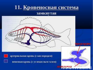 11. Кровеносная система замкнутая