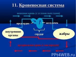 11. Кровеносная система