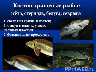 Костно-хрящевые рыбы: