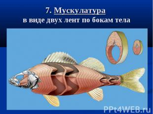 7. Мускулатура в виде двух лент по бокам тела