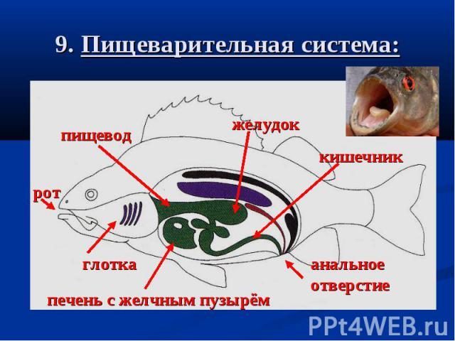 9. Пищеварительная система: