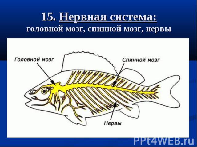 15. Нервная система: головной мозг, спинной мозг, нервы