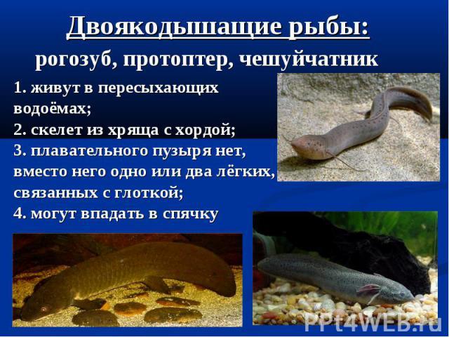 Двоякодышащие рыбы: