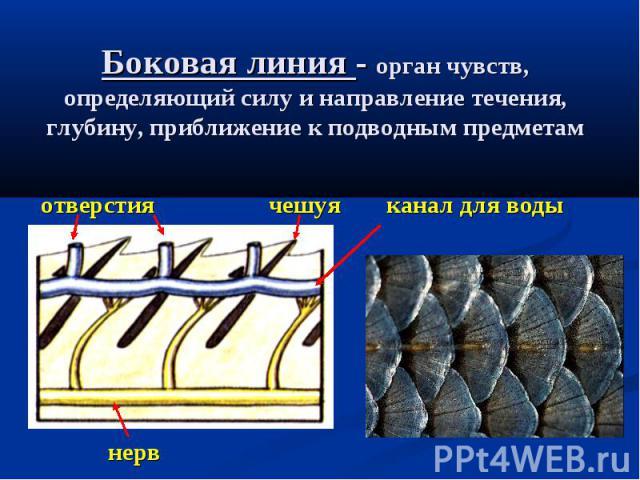 Боковая линия - орган чувств, определяющий силу и направление течения, глубину, приближение к подводным предметам