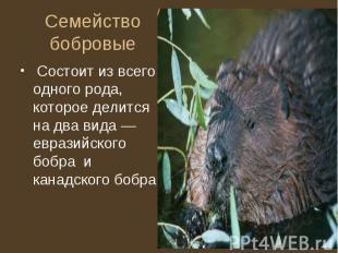 Семейство бобровые Состоит из всего одного рода, которое делится на два вида — е