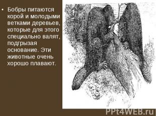 Бобры питаются корой и молодыми ветками деревьев, которые для этого специально в