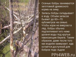 Осенью бобры занимаются заготовкой древесного корма на зиму. Осенью бобры занима