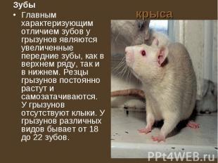 крыса Зубы Главным характеризующим отличием зубов у грызунов являются увеличенны