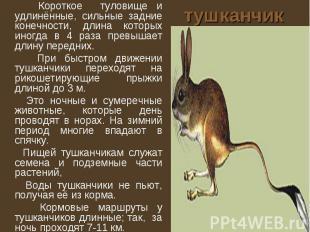 тушканчик Короткое туловище и удлинённые, сильные задние конечности, длина котор