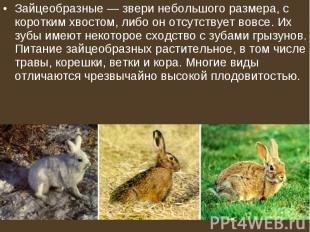 Зайцеобразные— звери небольшого размера, с коротким хвостом, либо он отсут