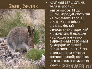 Крупный заяц: длина тела взрослых животных от 44 до 65см, изредка достигая