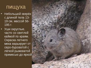Небольшой зверёк с длиной тела 13-19 см, массой 56-195 г. Небольшой зверёк с дли