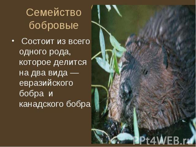 Семейство бобровые Состоит из всего одного рода, которое делится на два вида — евразийского бобра и канадского бобра.