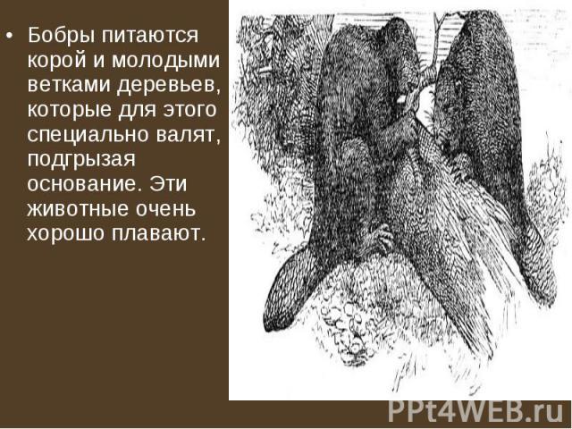 Бобры питаются корой и молодыми ветками деревьев, которые для этого специально валят, подгрызая основание. Эти животные очень хорошо плавают. Бобры питаются корой и молодыми ветками деревьев, которые для этого специально валят, подгрызая основание. …