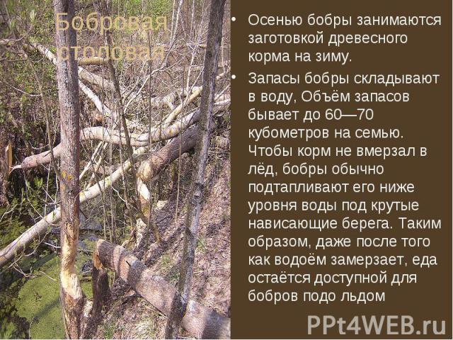 Осенью бобры занимаются заготовкой древесного корма на зиму. Осенью бобры занимаются заготовкой древесного корма на зиму. Запасы бобры складывают в воду, Объём запасов бывает до 60—70 кубометров на семью. Чтобы корм не вмерзал в лёд, бобры обычно по…