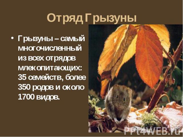 Отряд Грызуны Грызуны – самый многочисленный из всех отрядов млекопитающих: 35 семейств, более 350 родов и около 1700 видов.
