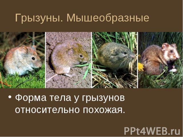 Форма тела у грызунов относительно похожая. Форма тела у грызунов относительно похожая.